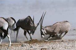 Combattimento della Namibia Etosha Pan Gemsbok Fotografia Stock Libera da Diritti