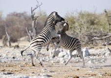 Combattimento della zebra fotografia stock libera da diritti