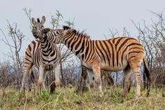 Combattimento della zebra Fotografie Stock Libere da Diritti