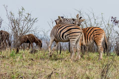Combattimento della zebra Immagini Stock
