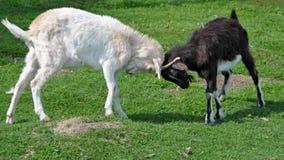 Combattimento delle capre Fotografia Stock