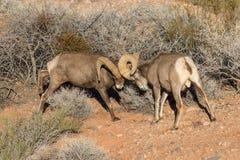 Combattimento delle ram del Bighorn del deserto Immagini Stock