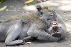 Combattimento delle scimmie Fotografia Stock