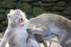 Combattimento delle scimmie Fotografie Stock