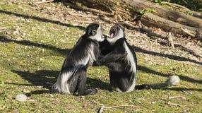Combattimento delle scimmie di Colobus Immagine Stock