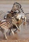 Combattimento delle zebre Immagine Stock Libera da Diritti