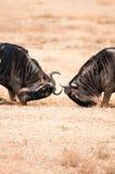 Combattimento dello gnu Immagine Stock