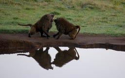 Combattimento di Barboons Immagini Stock