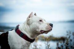 Combattimento di cane immagine stock libera da diritti
