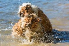 Combattimento di cani aggressivo nell'acqua fotografia stock