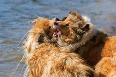 Combattimento di cani aggressivo nell'acqua fotografie stock libere da diritti