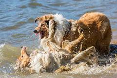 Combattimento di cani aggressivo nell'acqua fotografie stock