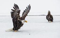 Combattimento di Eagles calvo (HALIAEETUS LEUCOCEPHALUS) Fotografia Stock Libera da Diritti