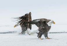 Combattimento di Eagles calvo (HALIAEETUS LEUCOCEPHALUS) Fotografia Stock