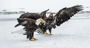 Combattimento di Eagles calvo (HALIAEETUS LEUCOCEPHALUS) Immagini Stock Libere da Diritti