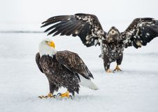 Combattimento di Eagles calvo (HALIAEETUS LEUCOCEPHALUS) Immagine Stock