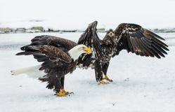 Combattimento di Eagles calvo (HALIAEETUS LEUCOCEPHALUS) Immagine Stock Libera da Diritti