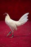 Combattimento di galli nell'Ecuador Sport e tradizione popolari Fotografia Stock