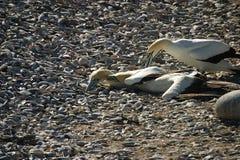 Combattimento di Gannets del capo Fotografia Stock Libera da Diritti