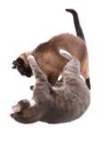 Combattimento di gatti Fotografie Stock