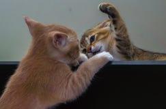 combattimento di gatto Immagini Stock Libere da Diritti