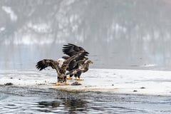 Combattimento di leucocephalus del Haliaeetus di Eagles calvo per il salmone su Th Immagine Stock