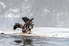 Combattimento di leucocephalus del Haliaeetus di Eagles calvo per il salmone su Th Fotografia Stock Libera da Diritti