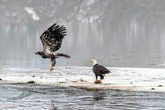 Combattimento di leucocephalus del Haliaeetus di Eagles calvo per il salmone su Th Fotografia Stock