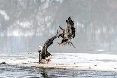 Combattimento di leucocephalus del Haliaeetus di Eagles calvo per il salmone su Th Immagini Stock Libere da Diritti
