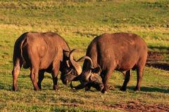 Combattimento di tori della Buffalo di capo Immagini Stock