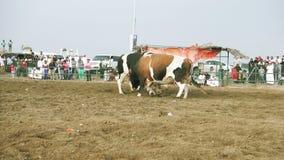 Combattimento di toro in Fujairah video d archivio