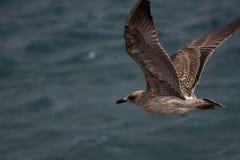 Combattimento gabbiano o di canus comune di larus con il vento Fotografie Stock Libere da Diritti