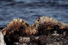 Combattimento marino delle iguane Immagini Stock Libere da Diritti