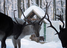 Combattimento maschio dei cervi alla neve Fotografie Stock