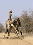 Combattimento maschio della giraffa Fotografie Stock Libere da Diritti