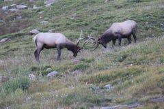 Combattimento selvaggio degli alci del toro Fotografia Stock