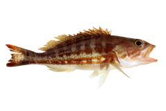 Comber fish mediterranean serranus cabrilla Stock Photos