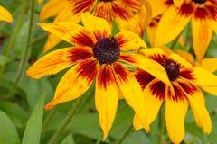 Combien de pétales y a-t-il en cette belle fleur jaune ? peut-être photos stock