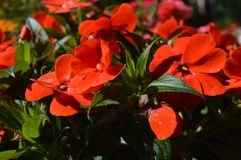 A combination of beauty and subtle naturalness. red flowers. A combination of beauty and subtle naturalness Stock Images