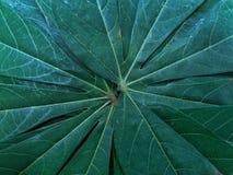 Combination leaf cassava stock photography