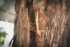 Combine el trabajo de las hormigas rojas que llevan el cuerpo del lagarto de la casa la jerarquía del ` s de la hormiga Fotos de archivo