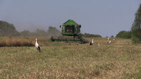 Combine harvest dry pea plants and stork birds. In agriculture farm field stock video