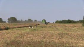 Combine harvest ripe dry peas plants. Stork birds. Combine harvest ripe dry peas plants in agriculture field. Stork birds stock footage