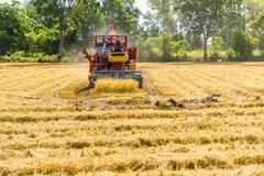 Combine harvester in action on rice field. Harvesting is the pro stock images