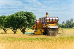 Combine harvester in action on rice field. Harvesting is the pro stock photography