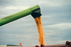 Combine harvester auger unloading harvested corn into tractor tr. Ailer. Agricultural machinery and equipment work in the field of cultivated maize crop Stock Image
