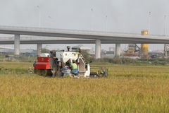 Combine harvester on field harvesting rice Royalty Free Stock Image