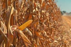 Combine harvester is harvesting corn crops. Combine harvester is harvesting cultivated ripe corn crops in field stock photos