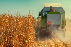 Combine harvester is harvesting corn crops. Combine harvester is harvesting cultivated ripe corn crops in field stock photography