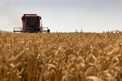 Combine harvester harvesting wheat. Grain harvesting combine. Combine harvesting wheat. royalty free stock photo